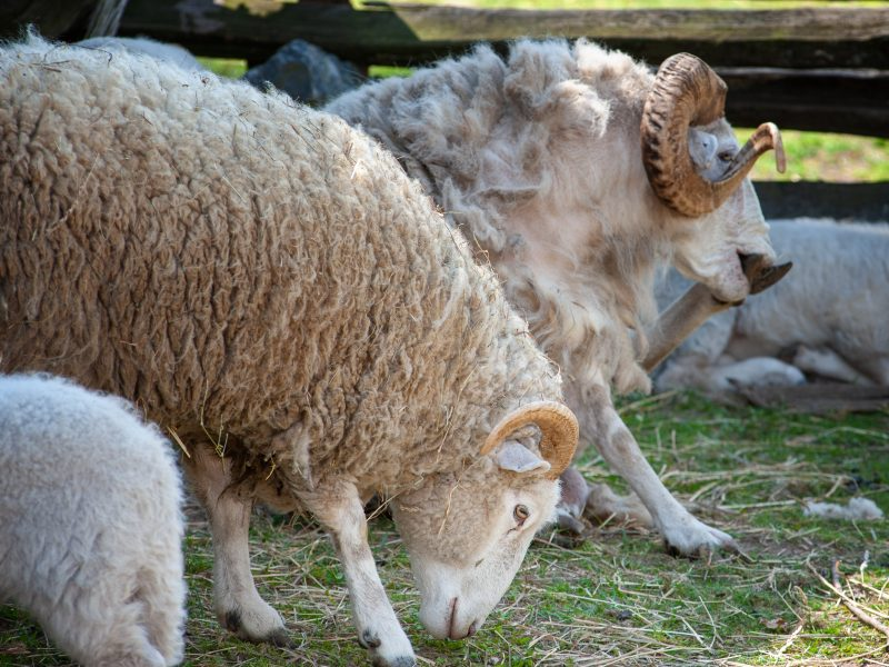 Sheep graze at Philipsburg Manor historic site in Sleepy Hollow, New York.