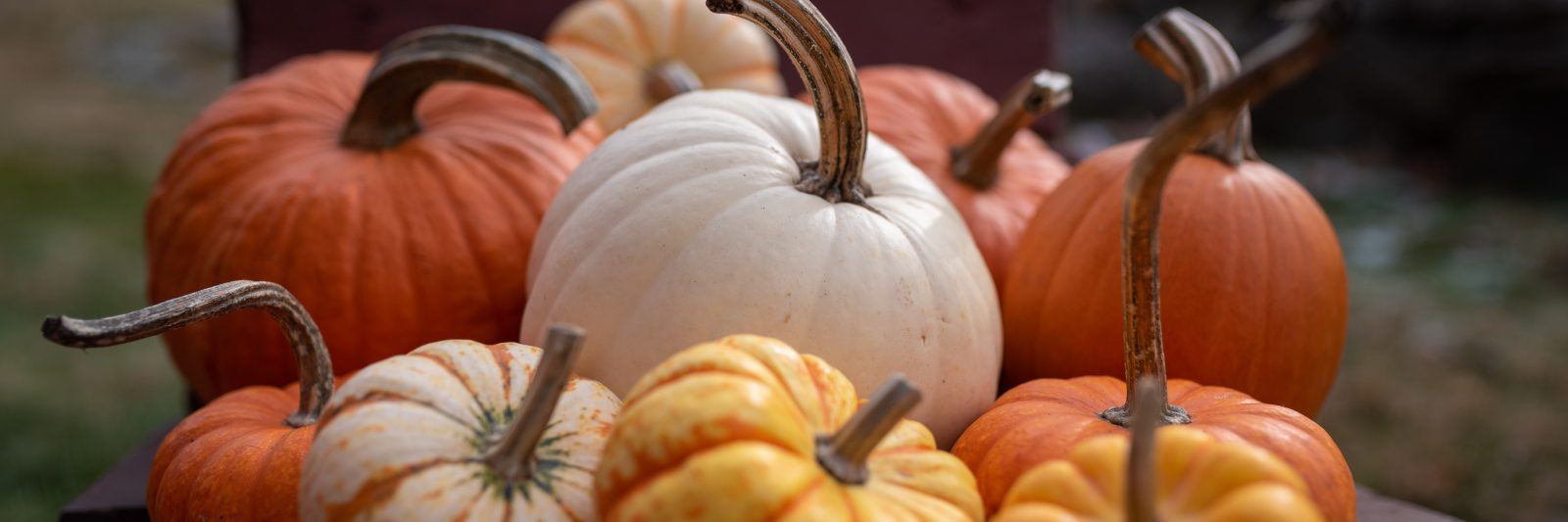 Orange, yellow and white pumpkins arranged in the bed of a wooden wheelbarrow.